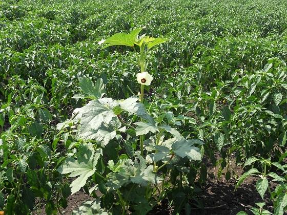 Esta preciosa planta que en la imagen aparece en una plantación de paprika en Mozambique recibe el nombre, en portugués, de Quiabo, palabra derivada del bantú Kingombo o, más resumidamente, Gombo.  Joaquín