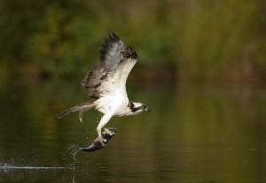 Águila pescadora (Pandion haliaetus) / Javier Valladares
