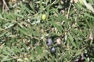 Envero de las aceitunas en un olivo de Jaén / Aceytuno