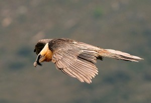 Quebrantahuesos (Gypaetus barbatus) / Javier Valladares