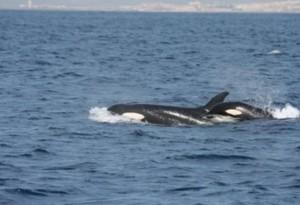 Orcas en el estrecho de Gibraltar/ Juan Manuel Salazar