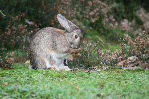 Conejo alimentándose de brezo / Aceytuno
