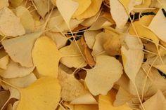 Hojas del Ginkgo biloba por el suelo / Aceytuno