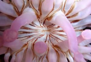 Anémona Gigante (Telmactatis cricoides) / Cristóbal Richart (Buceo La Restinga) El Hierro