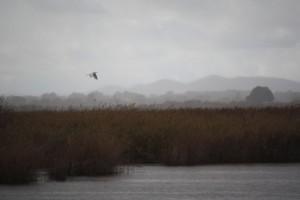 Garceta grande (Egretta alba) en vuelo sobre las Tablas de Daimiel ( 9-11-2014)