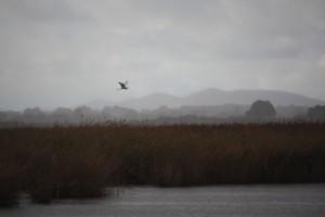 Garceta grande (Egretta alba)- Great White en vuelo sobre las Tablas de Daimiel ( 9-11-2014)
