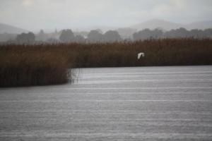 Garceta grande (Egretta alba) bajo la lluvia en las Tablas de Daimiel ( 9-11-2014)