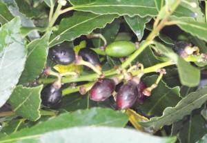 Laurel con frutos / Aceytuno