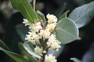 Laurel florecido en primavera / Aceytuno