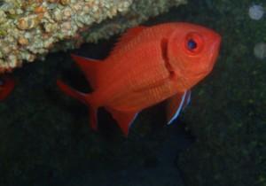Pez Soldado (Holocentrus sp.) : Cristóbal Richart (Buceo La Restinga) El Hierro