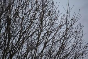 Pájaros fringílidos en las redes abiertas de las ramas/ Aceytuno