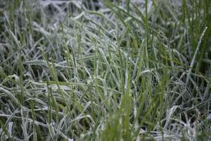 Hierba helada de cerca en la mañana 29-12-2014, primera helada del año/ Aceytuno