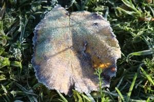Hoja verdemalva y amarilla del avellano recién caída, festoneada por la helada / Aceytuno