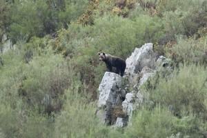 Oso pardo (Ursus arctos) en la Cordillera Cantábrica / Javier Valladares