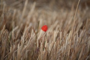 Flor de amapola sobre rastrojo de trigo/ Aceytuno
