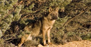 Lobo salvaje (Canis lupus) en la Sierra de la Culebra / Vicente Matellán