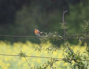 Petirrojo sin atrascacharse, celebrando la lluvia en primavera/ Aceytuno