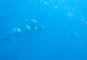 Delfines haciendo aros de aire / Cristóbal Richart de Buceolarestinga.com