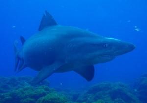 El tiburón gris, también llamado Tiburón Trozo (Carcharhinus plumbeus) hospedador de rémoras / Cristóbal Richart de Buceolarestinga.com