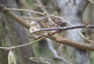Han florecido los avellanos. Fucsias y diminutas, sus flores femeninas/ Aceytuno
