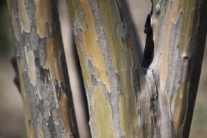 Tronco del árbol de Júpiter en el parque de la Fuente del Berro (10-1-2015) / Aceytuno