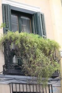 Esparraguera en un balcón de la calle Lope de Vega / Aceytuno