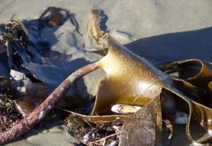 La laminaria hiperbórea que no tiene raíces ni tallo ni hojas, parece un árbol caído sobre la playa/ Aceytuno