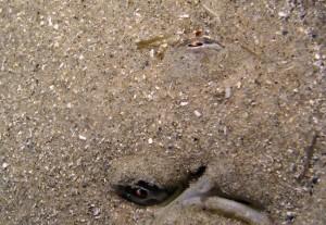 Ojos de un lenguado enterrado en el fondo arenoso marino/ Manuel Barrajón Falcón www.gadesman.net