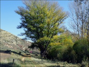 Chopo cabacero del camino del Remolinar de Aguilar del Alfambra (Teruel)/ por cortesía de Chabier de Jaime Lorén (Centro de Estudios del Jiloca)
