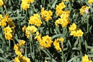 Narcisos / Aceytuno
