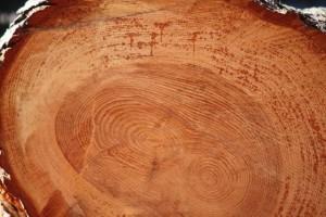 Belleza del pino caído/ Aceytuno
