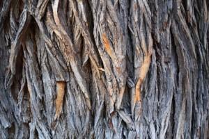 Naranjo de los Osages EEUU (Maclura pomifera- Fam. Moraceae) / Aceytuno