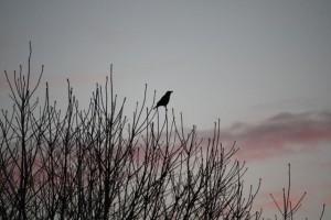 Cuervo mirando hacia el este, graznando al amanecer al sol.