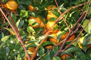 Nido, al sol, de naranjas.