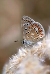 Ícaro (Polyommatus icarus ) con sus fimbrias blancas en el borde de las alas/ María Jesús López B.