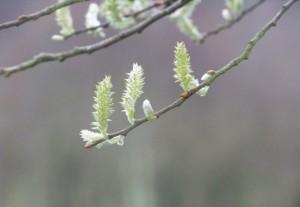 Sauce blanco (Salix alba) / Aceytuno
