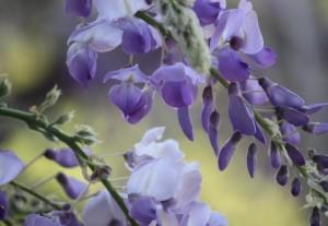 Flor de glicinia (Wisteria sinensis) / Aceytuno