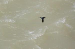 Golondrina sobrevolando el agua del río/ Aceytuno