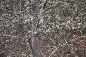 Líquenes sobre las ramas /Aceytuno