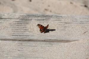 Inachis io en la playa con las alas rotas y descoloridas. Abril, 2015.