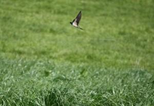 Golondrina común sobrevolando al atardecer la hierba / Aceytuno