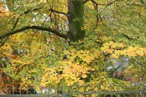 Haya en otoño / Aceytuno
