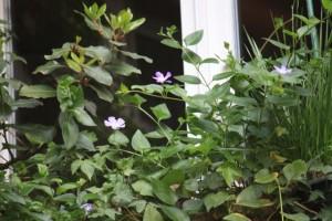 Vicapervinca en la ventana/ Aceytuno