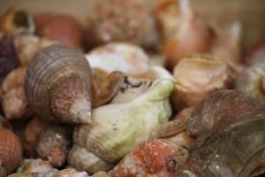 Carcolas marinas de la familia Buccinidae (Bulots en francés)