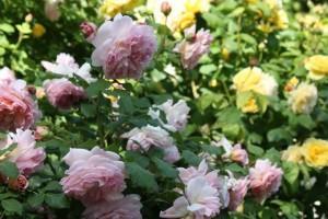 Rosas antiguas de olor / Aceytuno