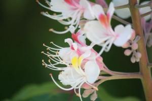 Cambio de color en la flor del castaño de Indias cuando ha sido libada / Aceytuno