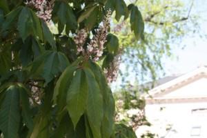 Castaño de Indias del Jardin de Plants / Aceytuno
