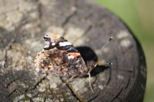Mariposa vulcana con las alas cerradas /Aceytuno