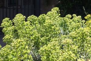 Euphorbias en el Jardin de Plants de París