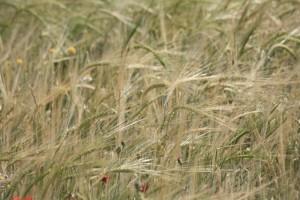 Cereal sobre campo abandonado reconquistado por las amapolas / Aceytuno